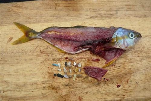 mikroplasty v rybe